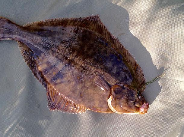 Eric Whisson's Flounder